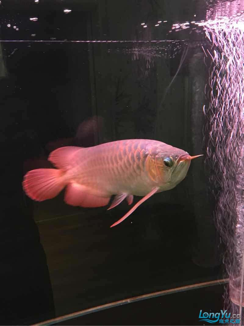 红西安鱼市场龙与魟鱼【西安龙鱼】 西安观赏鱼信息 西安博特第3张