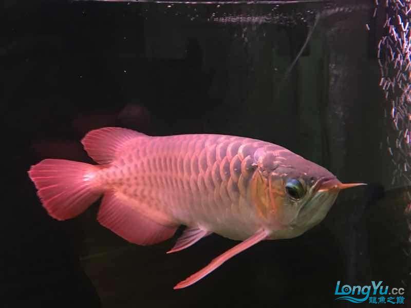 红西安鱼市场龙与魟鱼【西安龙鱼】 西安观赏鱼信息 西安博特第4张