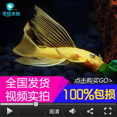 【西安水虎鱼】黄金蓝眼大帆胡子哪里购买黄金蓝眼大帆胡子哪个好 西安观赏鱼信息