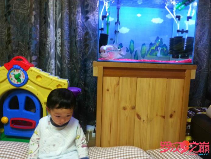 大罗汉+小盆友 西安观赏鱼信息 西安博特第2张