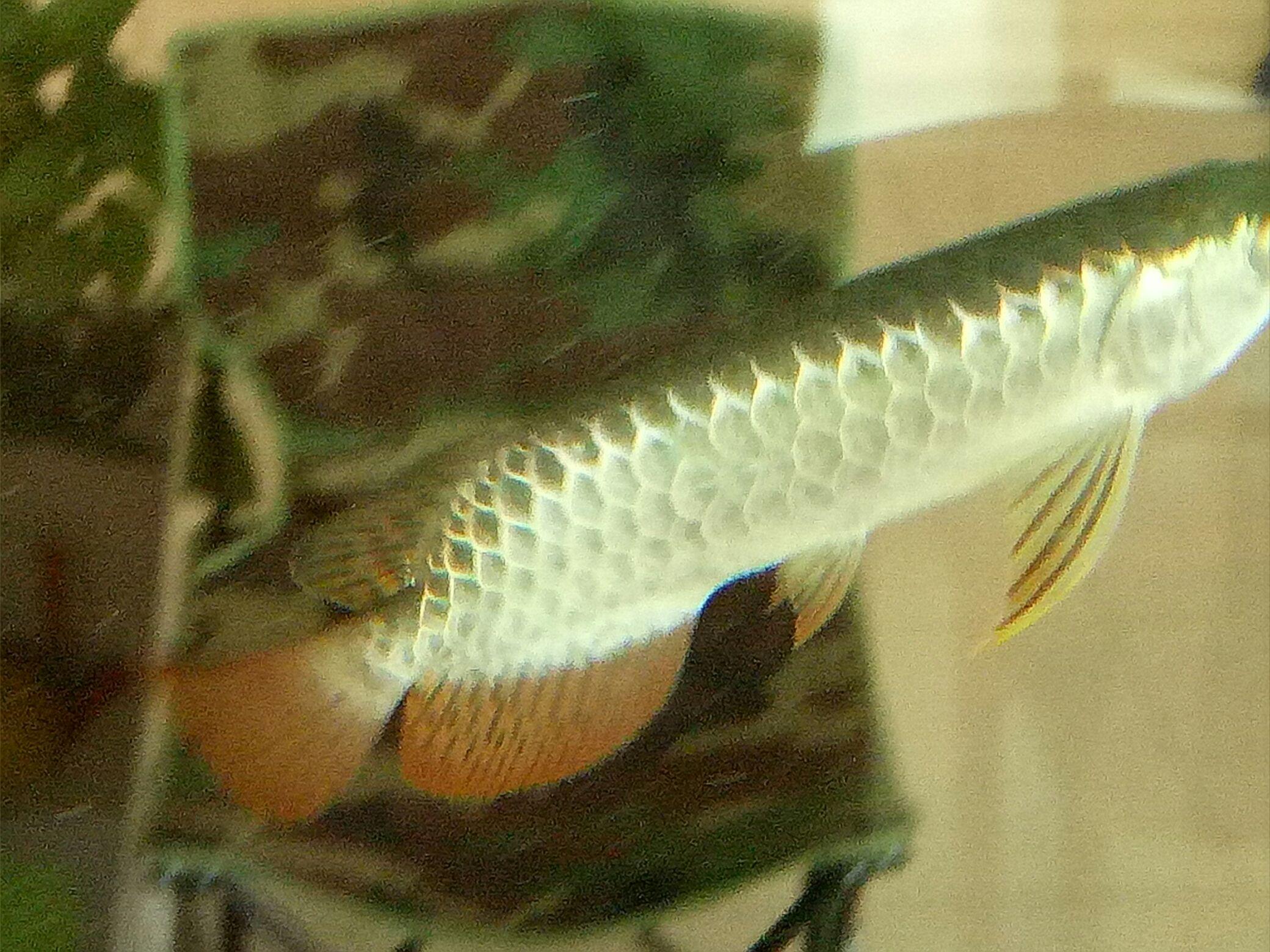 蓝底过背金龙 西安观赏鱼信息 西安博特第1张