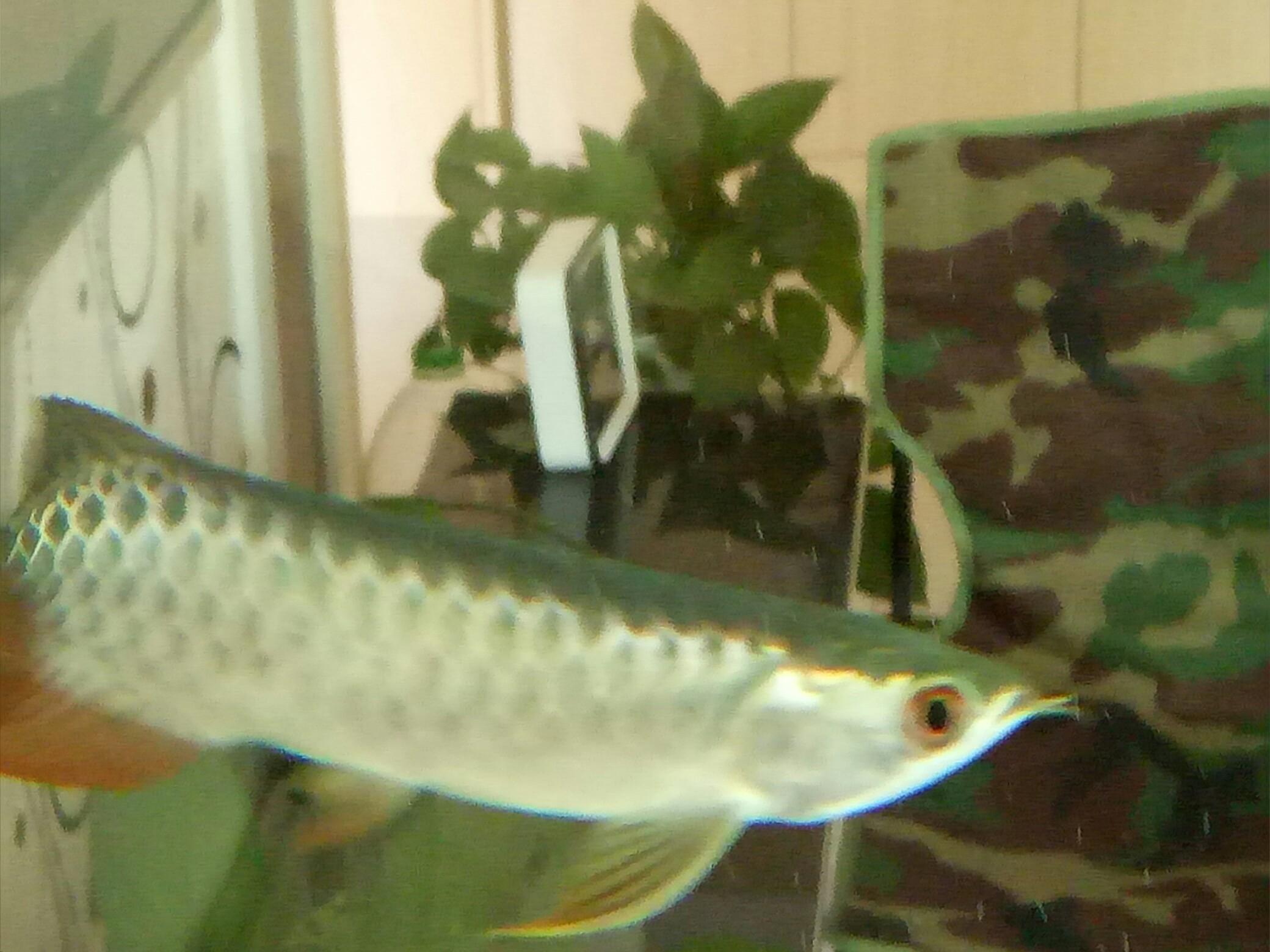 蓝底过背金龙 西安观赏鱼信息 西安博特第2张