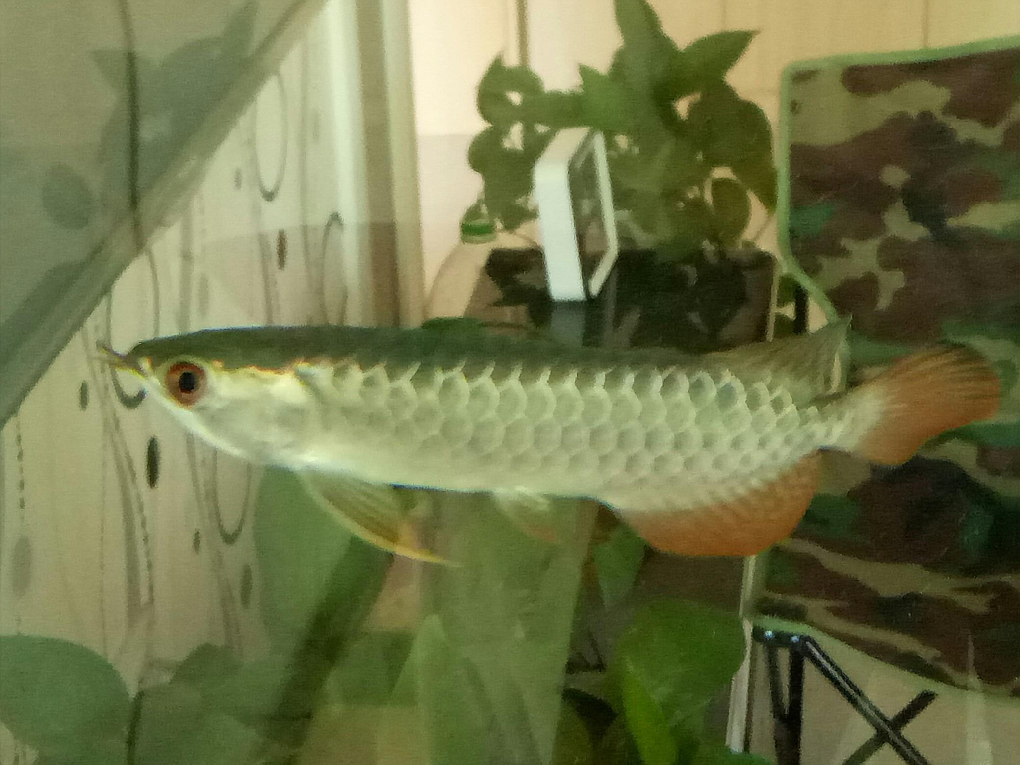 蓝底过背金龙 西安观赏鱼信息 西安博特第7张