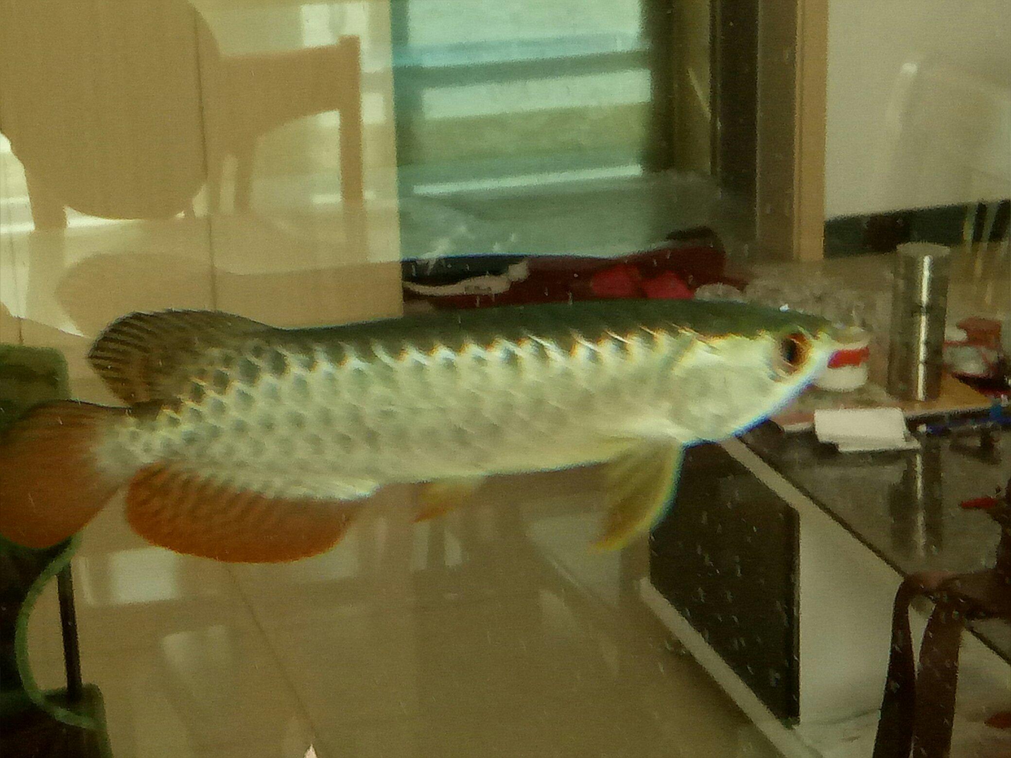 蓝底过背金龙 西安观赏鱼信息 西安博特第8张