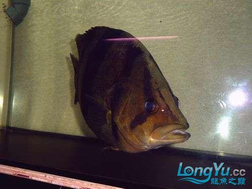 大老虎来了 西安观赏鱼信息 西安博特第1张