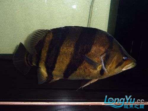 大老虎来了 西安观赏鱼信息 西安博特第6张