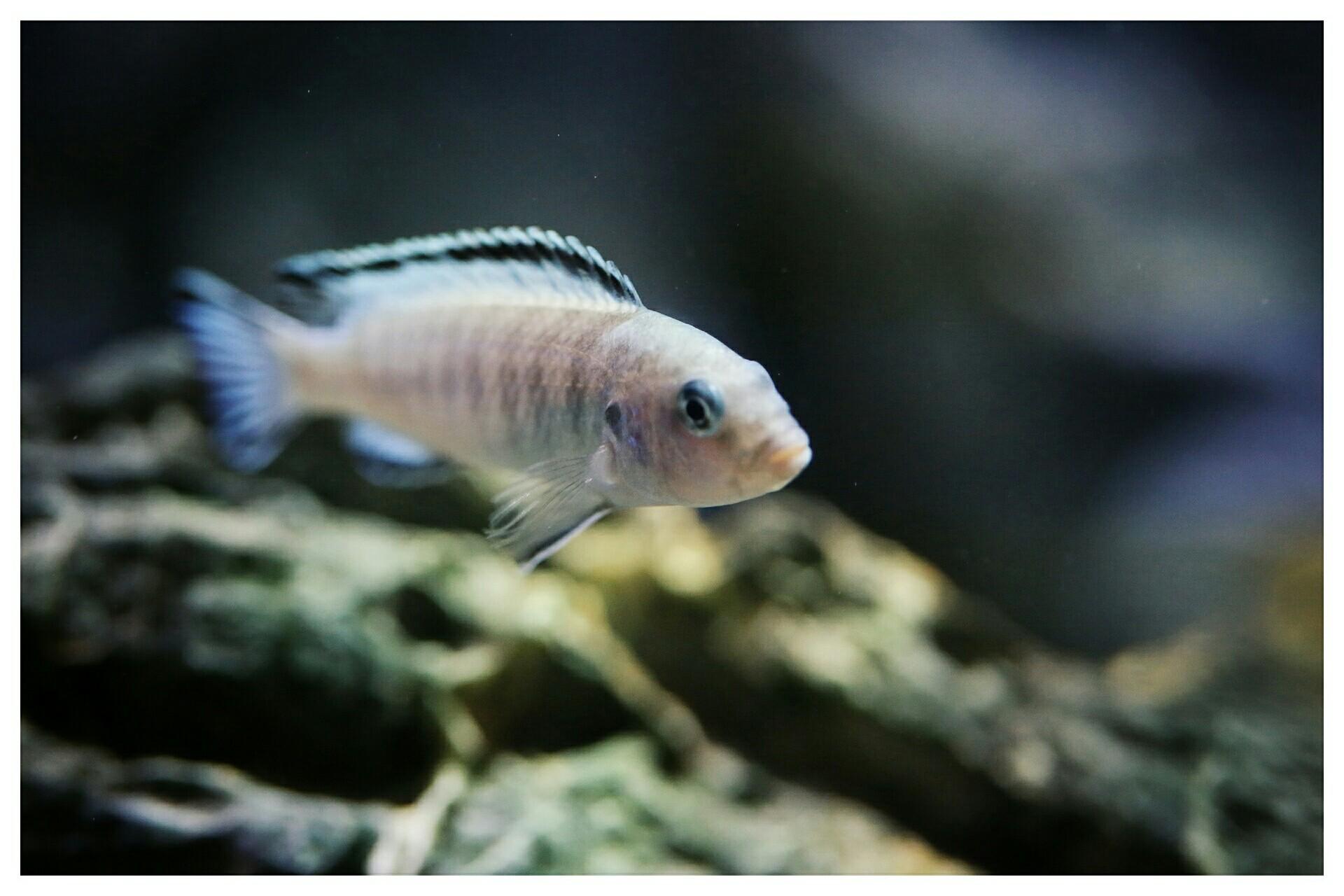 每日鱼照岩栖索科洛夫斑马 西安龙鱼论坛 西安博特第1张