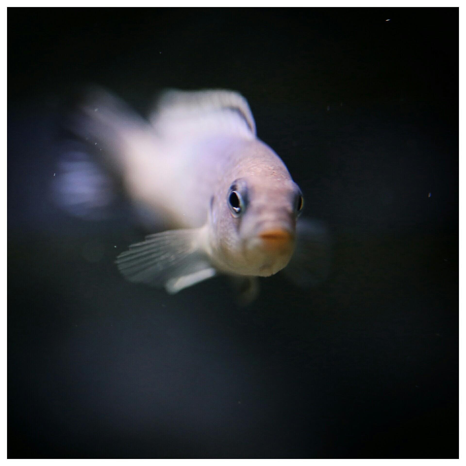 每日鱼照岩栖索科洛夫斑马 西安龙鱼论坛 西安博特第2张