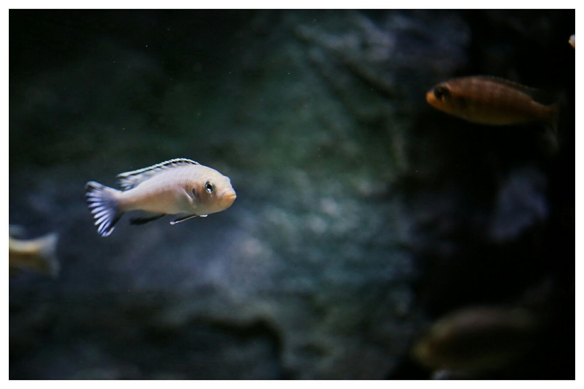 每日鱼照岩栖索科洛夫斑马 西安龙鱼论坛 西安博特第3张