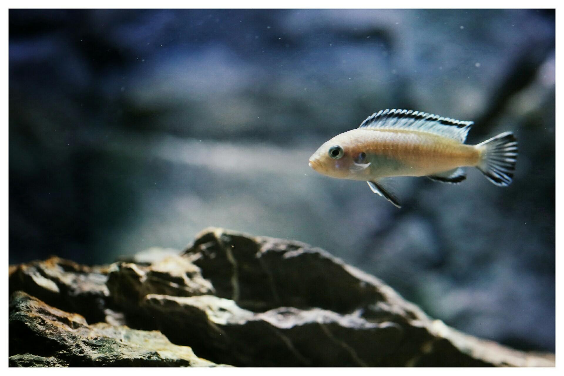 每日鱼照岩栖索科洛夫斑马 西安龙鱼论坛 西安博特第4张