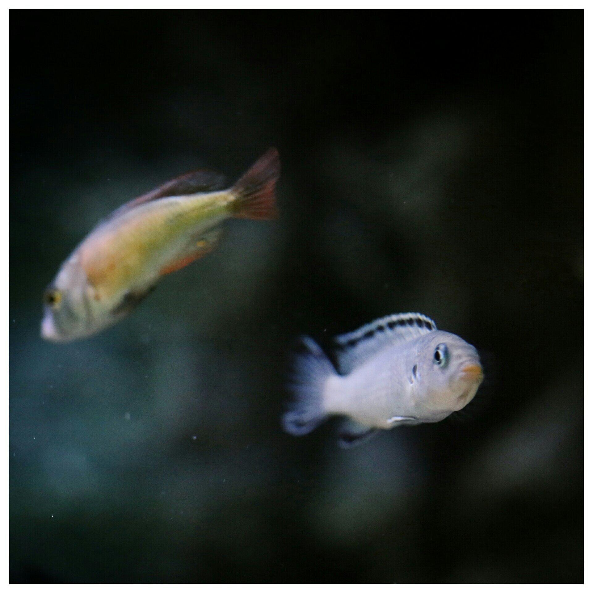 每日鱼照岩栖索科洛夫斑马 西安龙鱼论坛 西安博特第7张