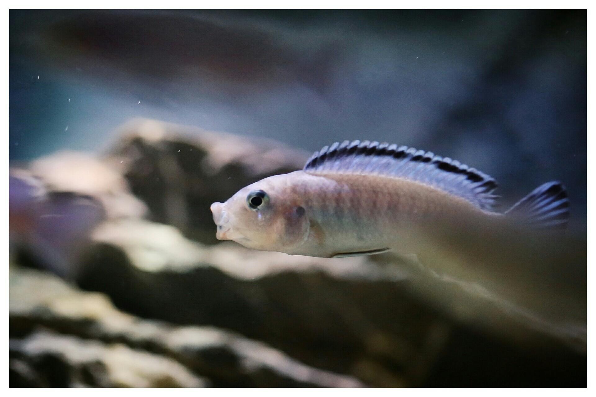 每日鱼照岩栖索科洛夫斑马 西安龙鱼论坛 西安博特第6张