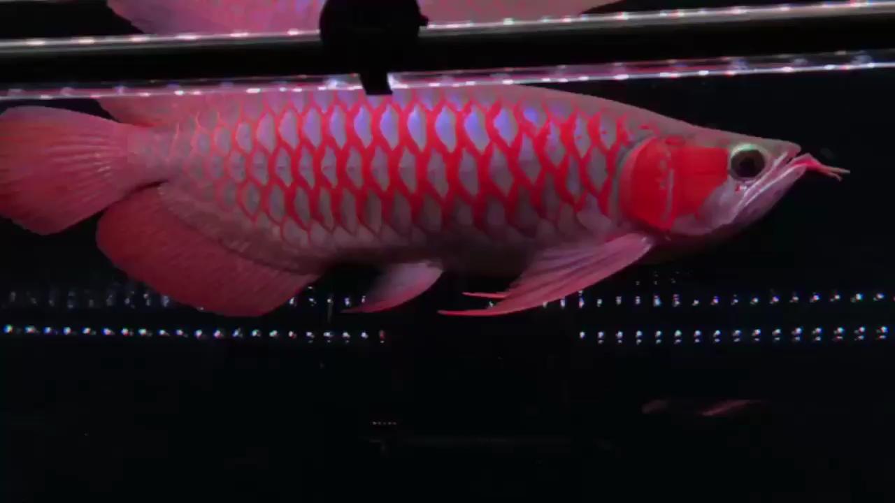 西安水族批发市场好品质分享龙鱼 西安观赏鱼信息