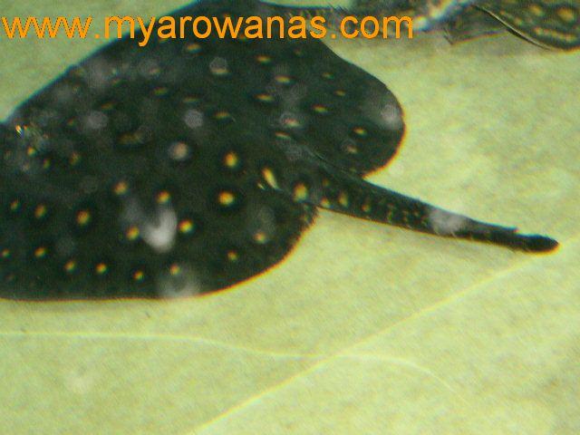 母鱼带小鱼 西安龙鱼论坛 西安博特第4张