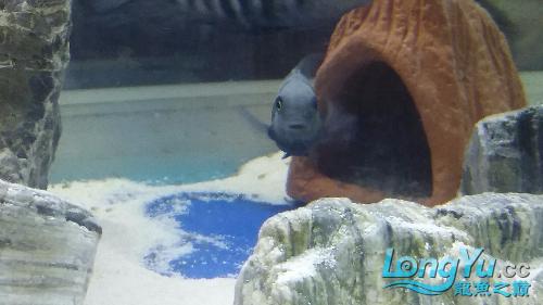 母鱼带小鱼 西安龙鱼论坛 西安博特第3张