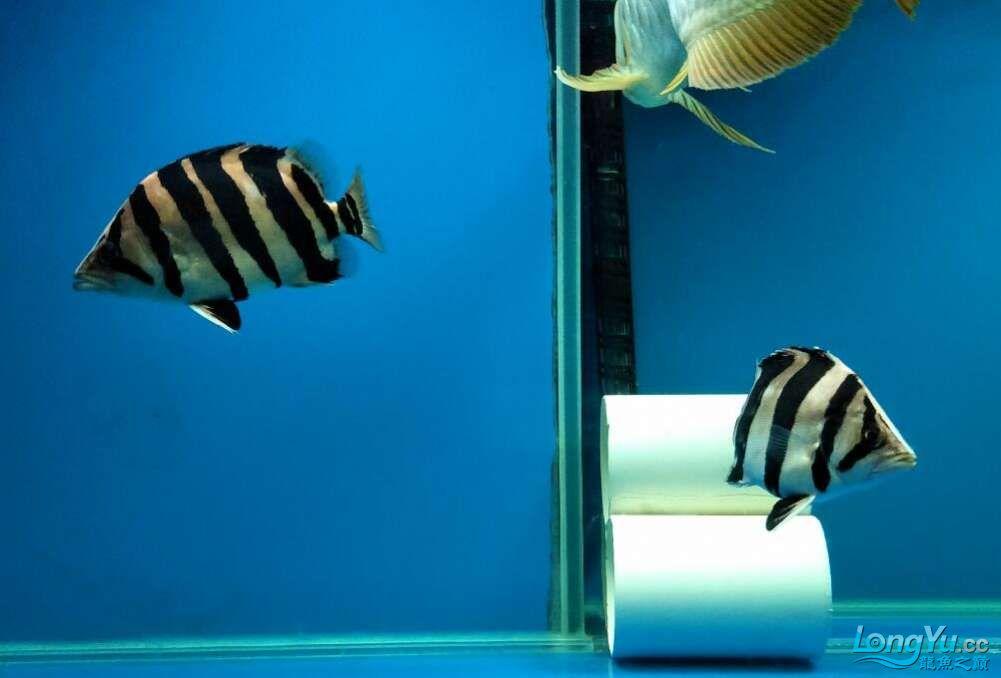 三纹带杂点和四纹印尼虎 西安龙鱼论坛 西安博特第2张
