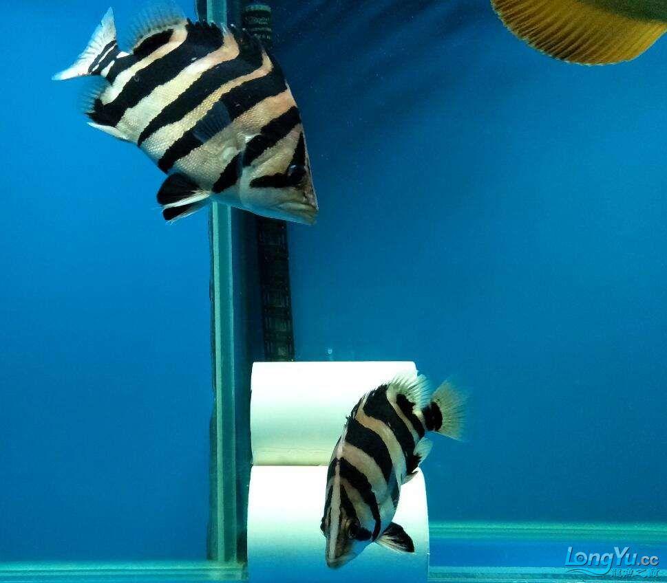 三纹带杂点和四纹印尼虎 西安龙鱼论坛 西安博特第4张