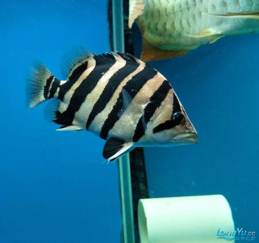 三纹带杂点和四纹印尼虎 西安龙鱼论坛 西安博特第5张