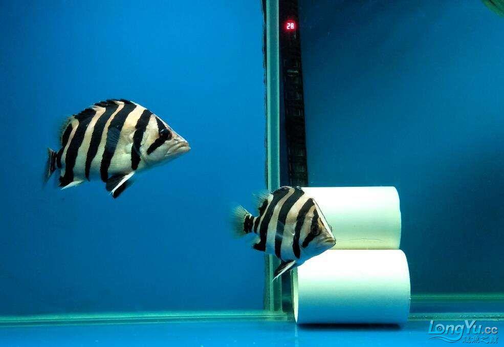 三纹带杂点和四纹印尼虎 西安龙鱼论坛 西安博特第6张