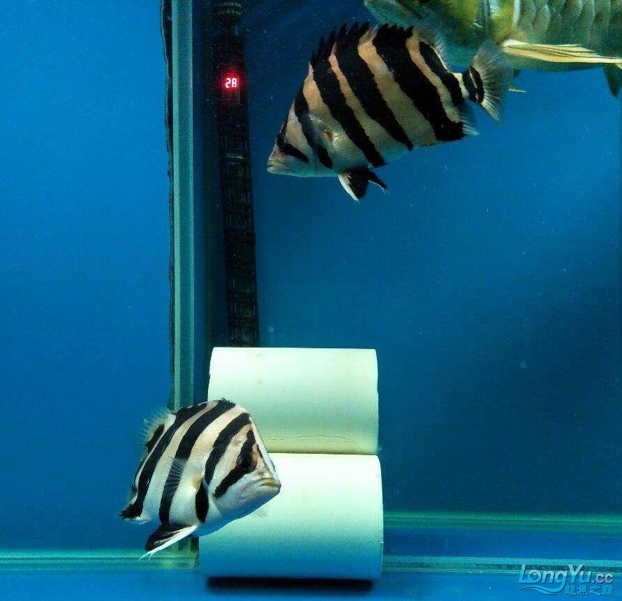 三纹带杂点和四纹印尼虎 西安龙鱼论坛 西安博特第7张