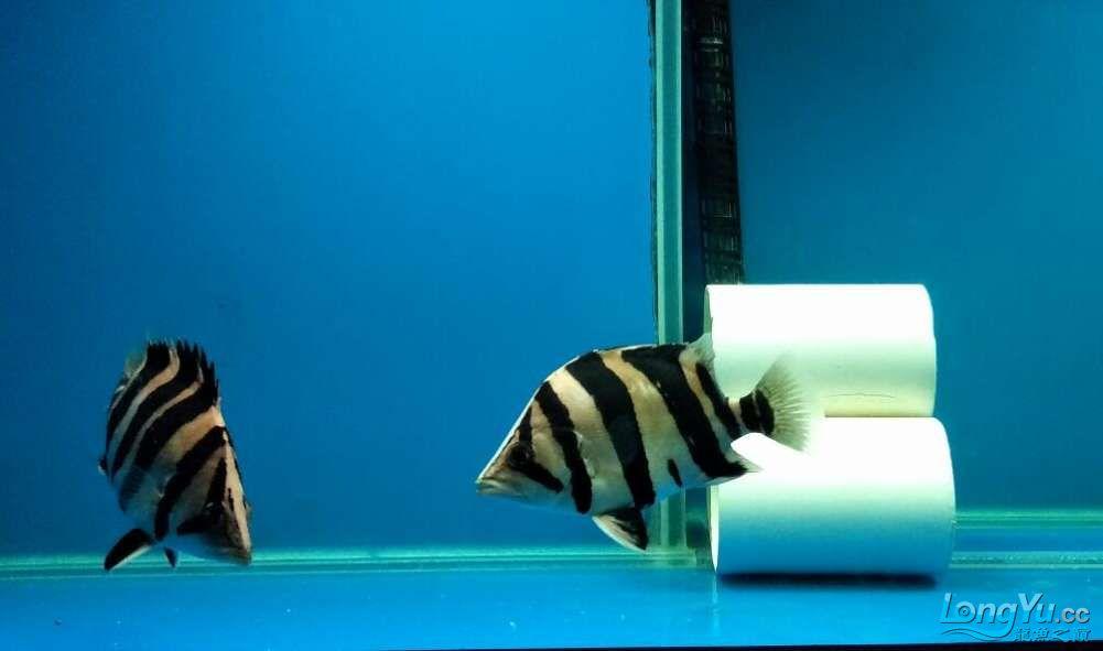三纹带杂点和四纹印尼虎 西安龙鱼论坛 西安博特第8张