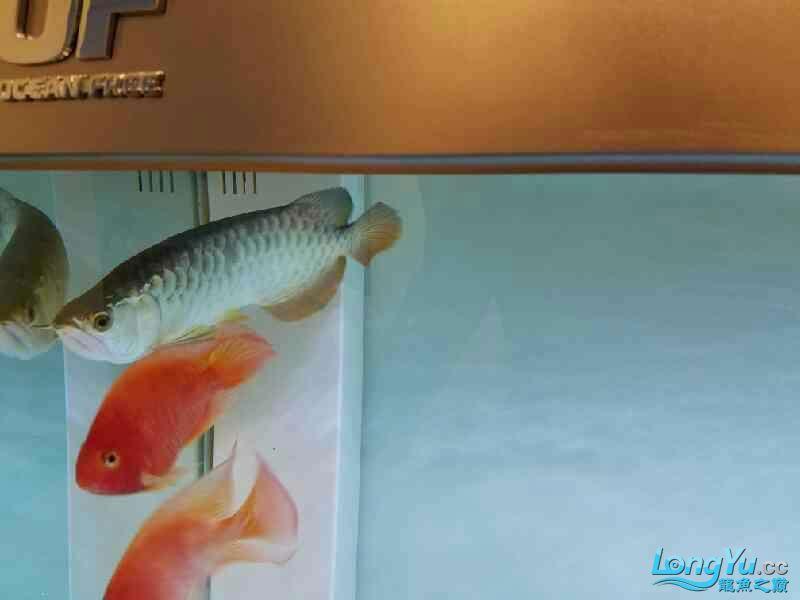 了解金龙学习饲养方法 西安观赏鱼信息 西安博特第7张