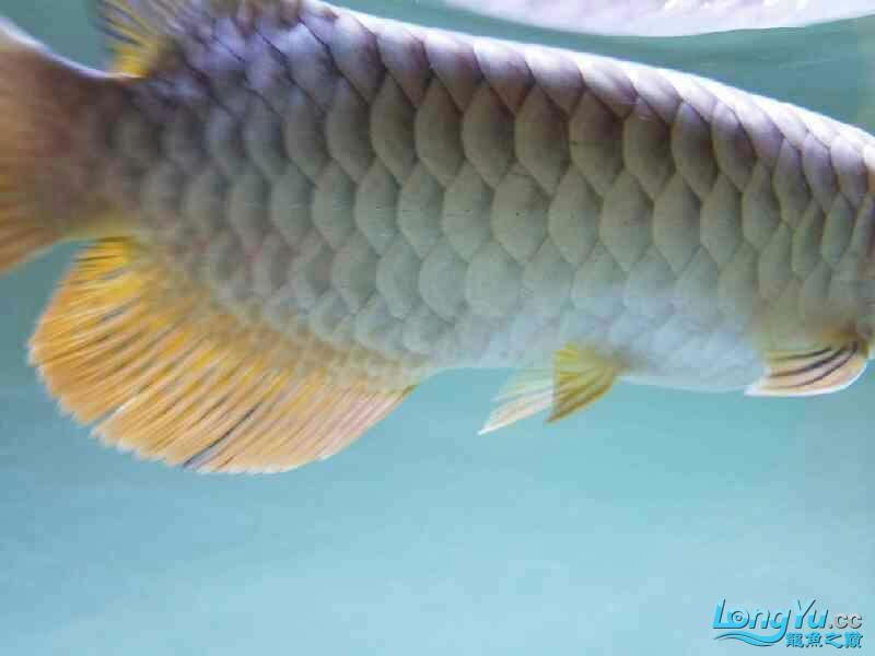 了解金龙学习饲养方法 西安观赏鱼信息 西安博特第6张
