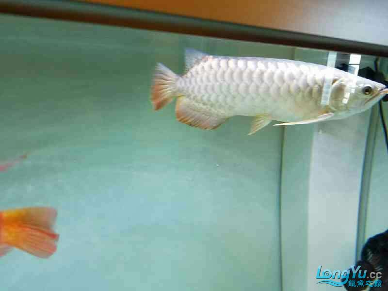 了解金龙学习饲养方法 西安观赏鱼信息 西安博特第8张