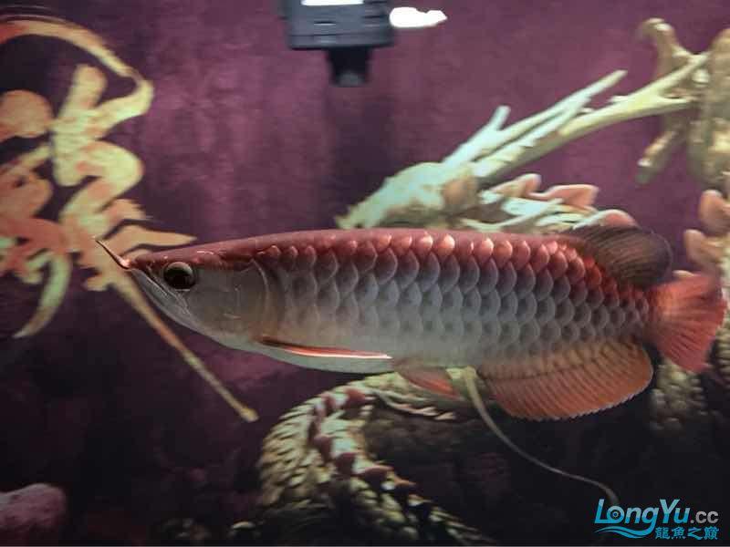 25公分金龙帮看看什么品种的能过背吗? 西安龙鱼论坛 西安博特第2张