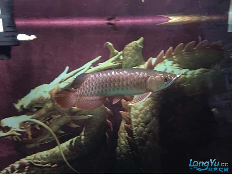 25公分金龙帮看看什么品种的能过背吗? 西安龙鱼论坛 西安博特第1张