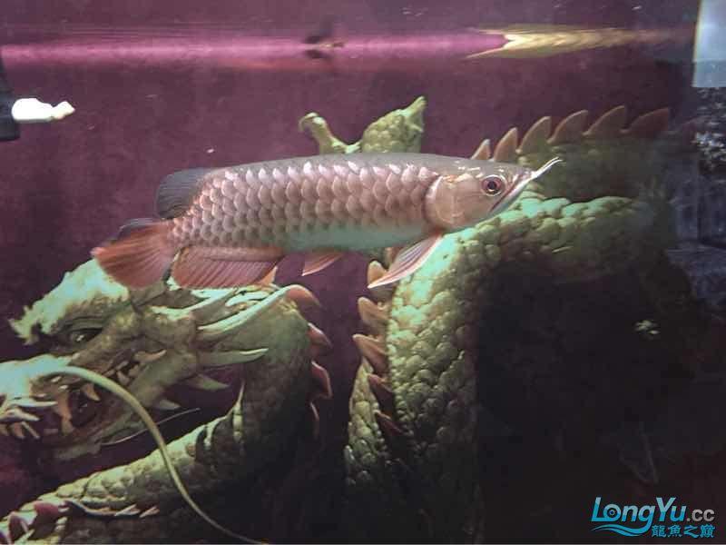 25公分金龙帮看看什么品种的能过背吗? 西安龙鱼论坛 西安博特第3张
