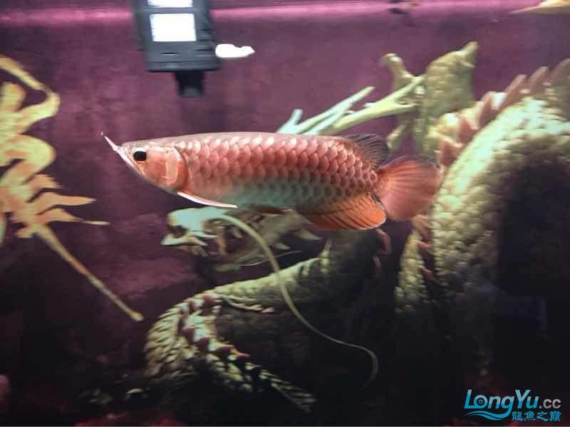 25公分金龙帮看看什么品种的能过背吗? 西安龙鱼论坛 西安博特第4张