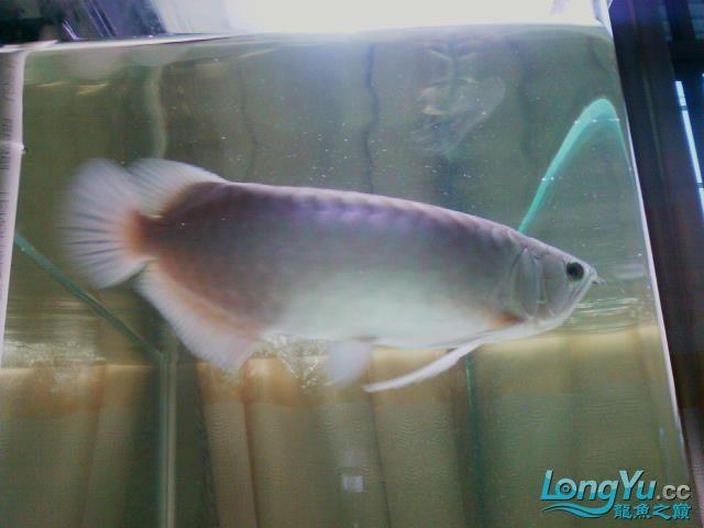 看看半年的小青 西安龙鱼论坛 西安博特第2张