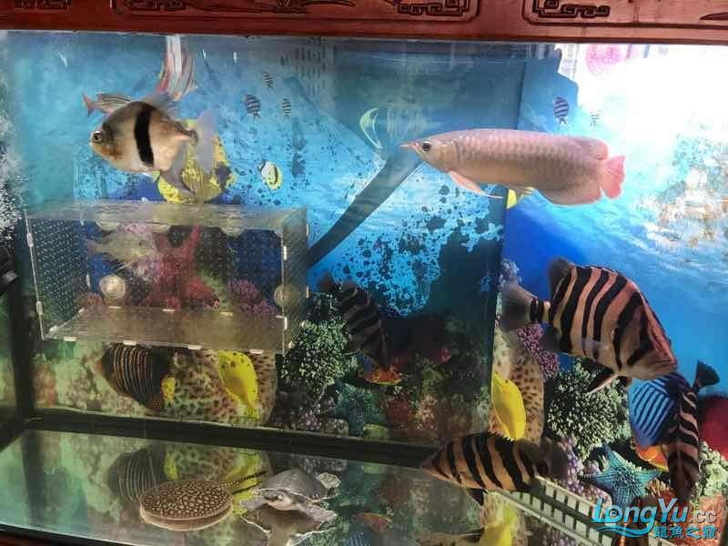求大师看看是什么品种谢谢 西安龙鱼论坛 西安博特第2张