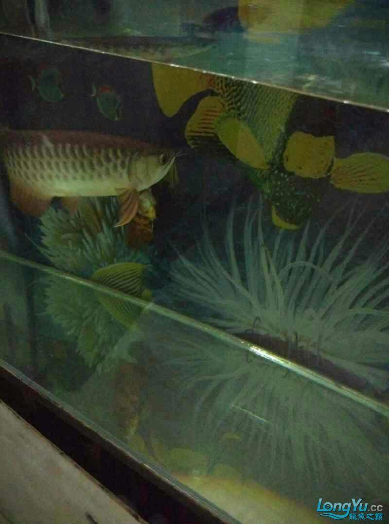 请回来两个月的西安帝王三间鼠鱼批发金龙鱼 西安观赏鱼信息 西安博特第2张