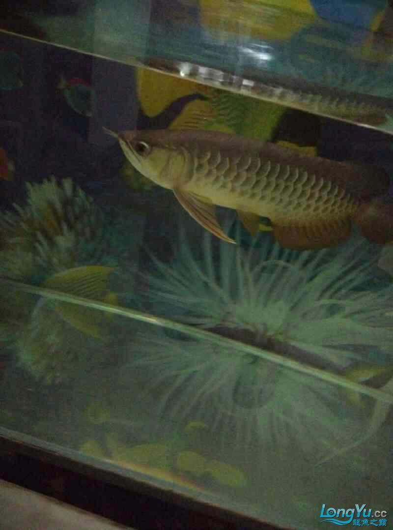 请回来两个月的西安帝王三间鼠鱼批发金龙鱼 西安观赏鱼信息 西安博特第1张