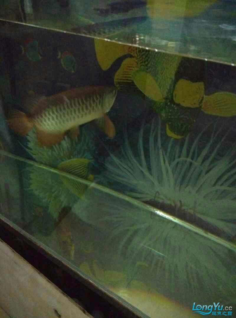 请回来两个月的西安帝王三间鼠鱼批发金龙鱼 西安观赏鱼信息 西安博特第5张