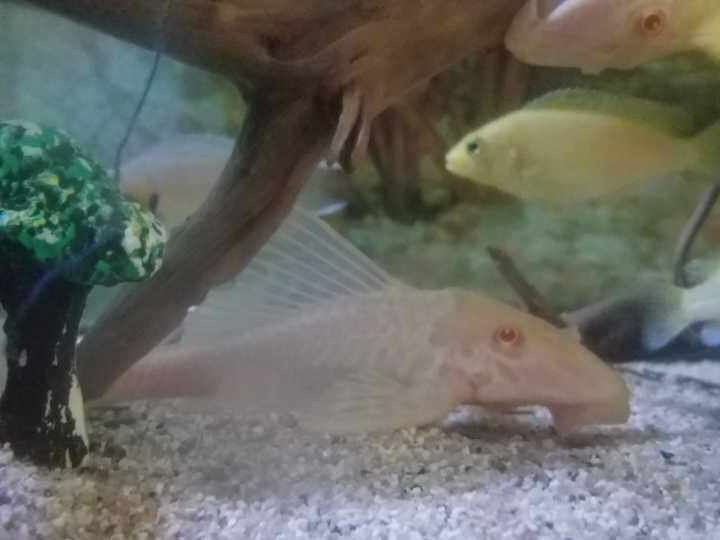 胖嘟嘟的小鱼三西安直纹飞凤鱼批发湖慈鲷 西安观赏鱼信息 西安博特第1张