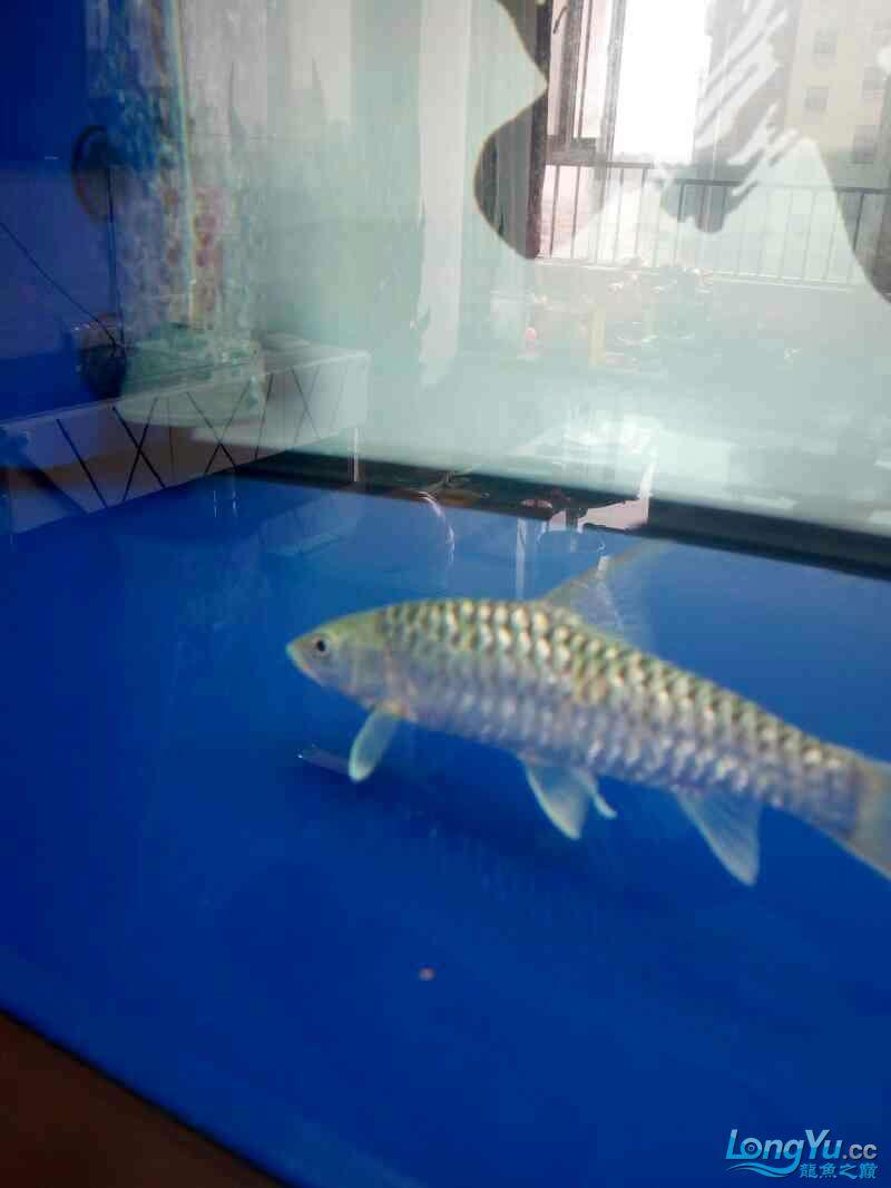 西安祥龙鱼缸金龙 金吉罗混养还有粗纹大老虎 西安龙鱼论坛 西安博特第2张