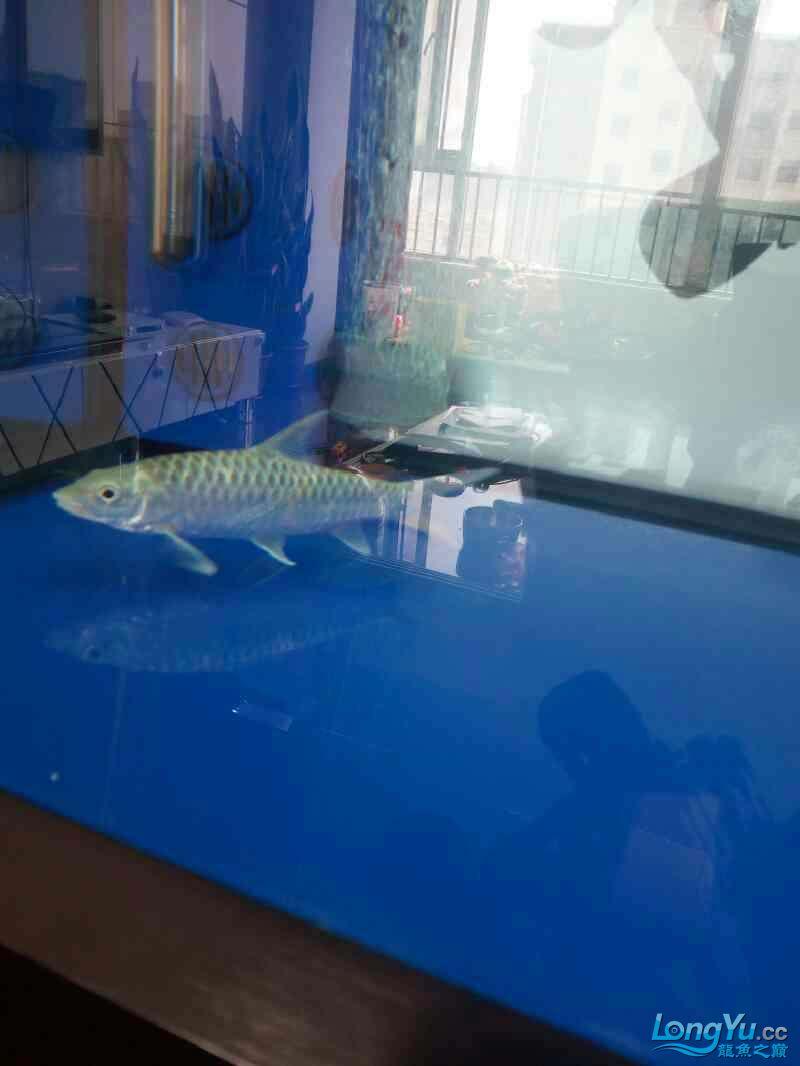 西安祥龙鱼缸金龙 金吉罗混养还有粗纹大老虎 西安龙鱼论坛 西安博特第8张