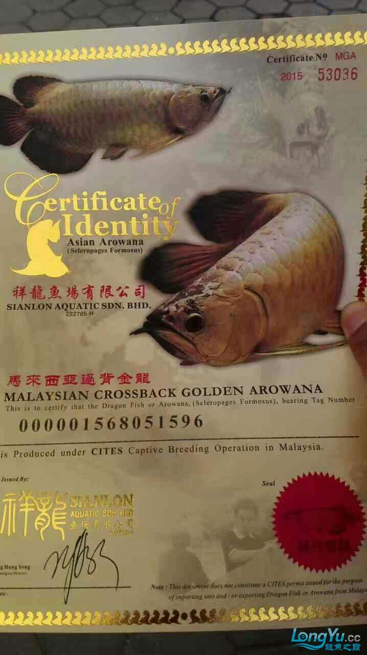 西安祥龙鱼缸金龙 金吉罗混养还有粗纹大老虎 西安龙鱼论坛 西安博特第10张