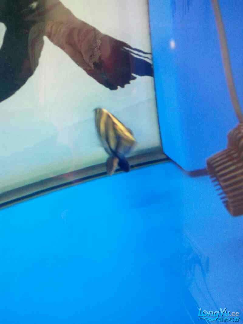 西安祥龙鱼缸金龙 金吉罗混养还有粗纹大老虎 西安龙鱼论坛 西安博特第11张
