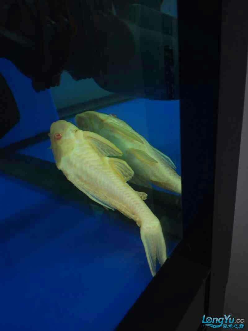 西安祥龙鱼缸金龙 金吉罗混养还有粗纹大老虎 西安龙鱼论坛 西安博特第12张