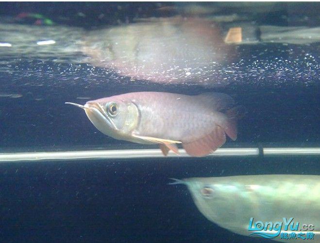 红尾一条 高手给些意见该改进些什么 西安观赏鱼信息 西安博特第1张