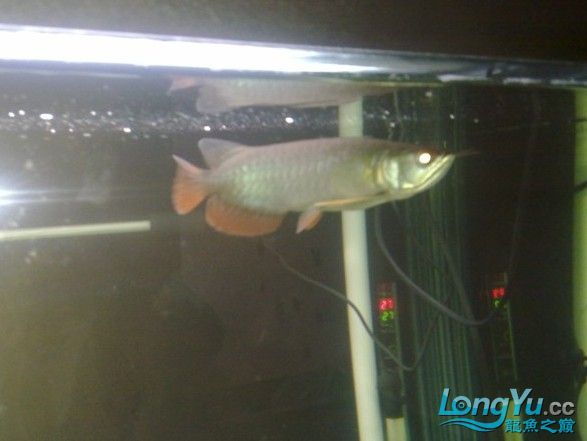 红尾一条 高手给些意见该改进些什么 西安观赏鱼信息 西安博特第2张
