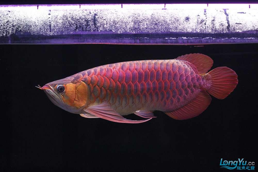 二月二龙抬头 西安龙鱼论坛 西安博特第5张