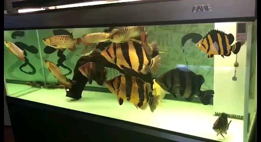 龍腾虎跃龙鱼 西安观赏鱼信息