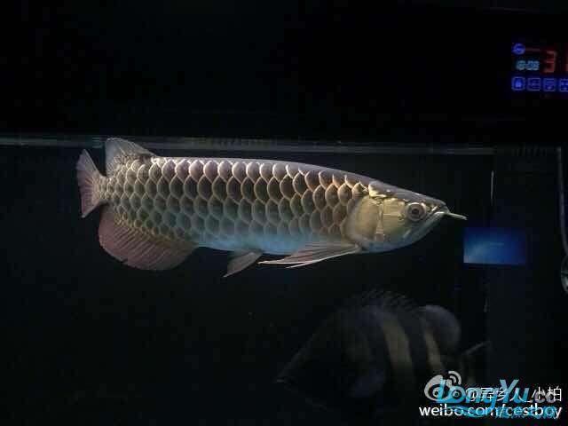 好久没发记录贴了金质越来越厚重了 西安观赏鱼信息 西安博特第1张