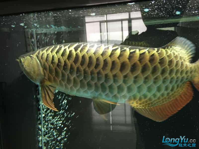 好久没发记录贴了金质越来越厚重了 西安观赏鱼信息 西安博特第5张