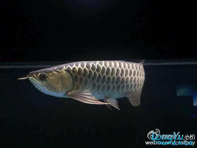 好久没发记录贴了金质越来越厚重了 西安观赏鱼信息 西安博特第3张